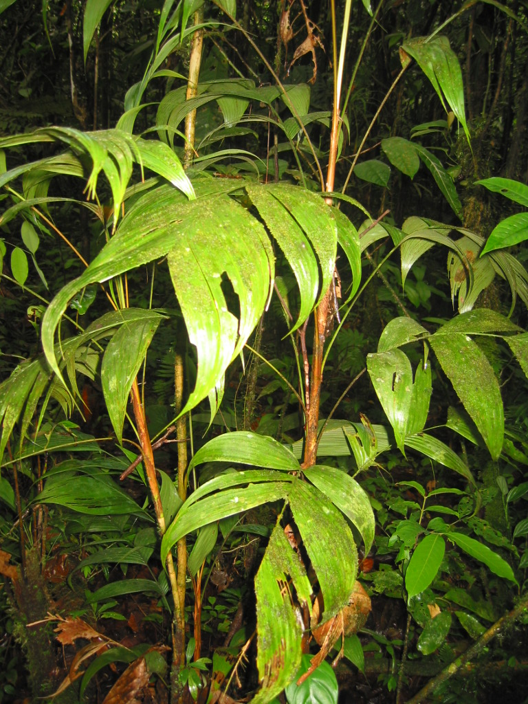 Figura 4. Chamaedorea sp
